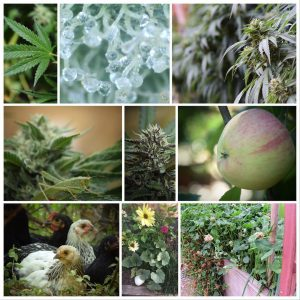 Collage of Herbanology-grown flowers, produce and cannabis. Photo taken from Herbanology's Facebook page.