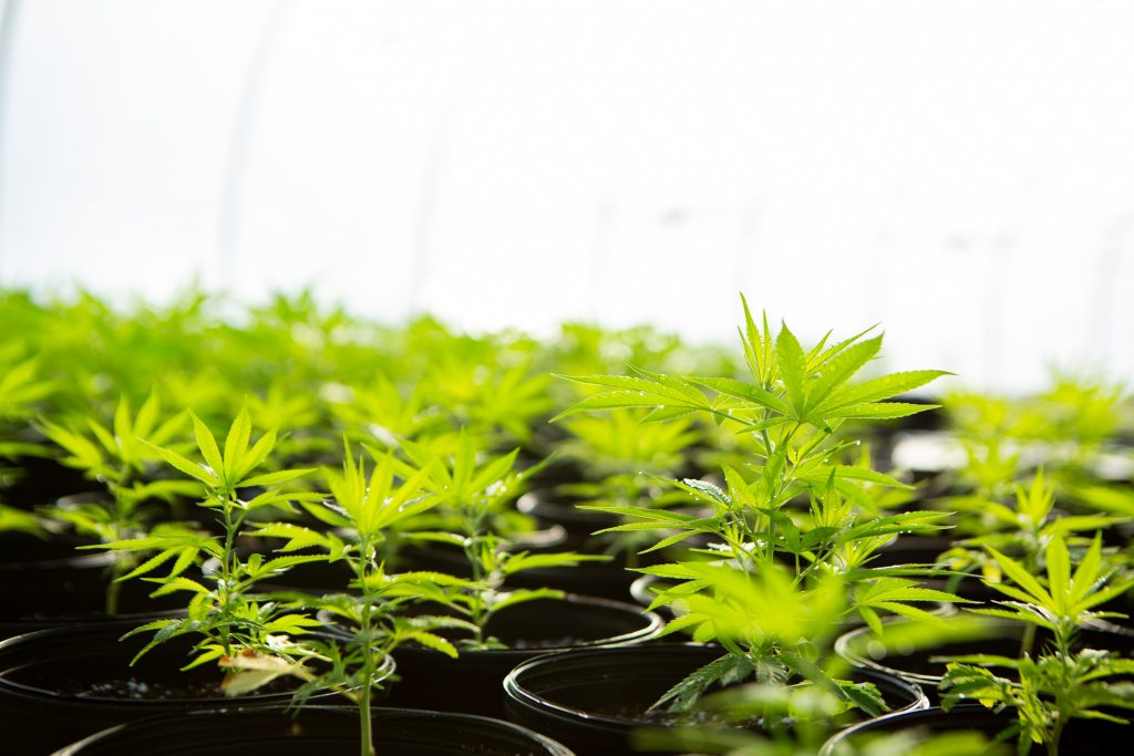 green cannabis plant