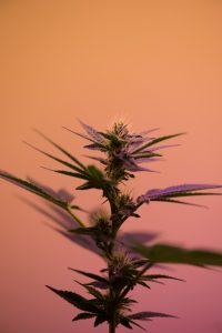 selective focus photography of cannabis sativa plant