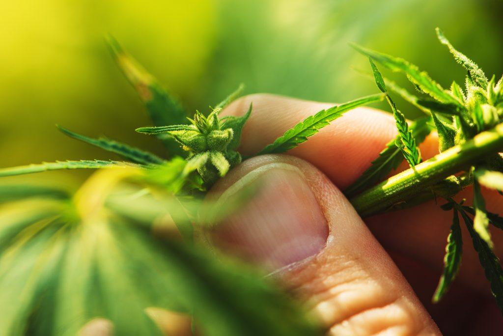 farmer is examining cannabis hemp male plant flowe Z2VD65S